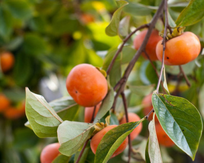 Pacific Groves Persimmon Trees