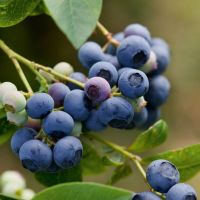 Pacific Groves Northern Highbush Blueberries