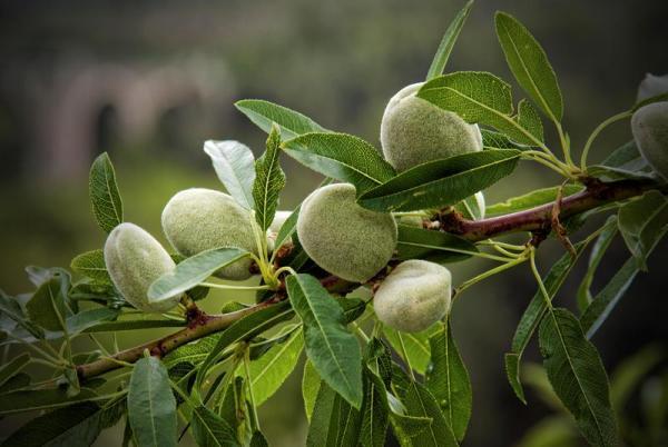 Pacific Groves Whole Sale Fruit Tree Nursery Fruit Tree