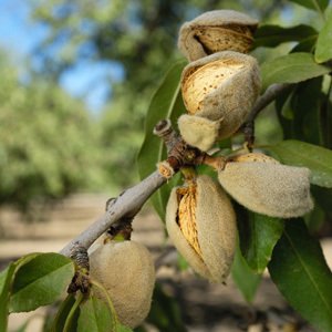 Pacific Groves Almonds