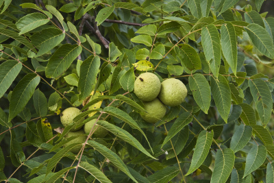 Pacific Groves Walnuts