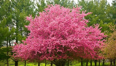Pacific Groves Flowering Crabapples