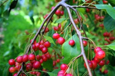 Pacific Groves Weeping Crabapples