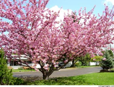 Pacific Groves Flowering Cherry Trees