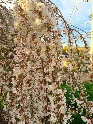 Pacific Groves Weeping Flowering Cherry Trees