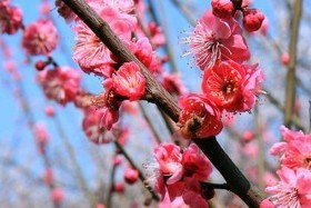Pacific Groves Flowering Plum Trees