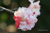 Pacific Groves Flowering Peach Trees