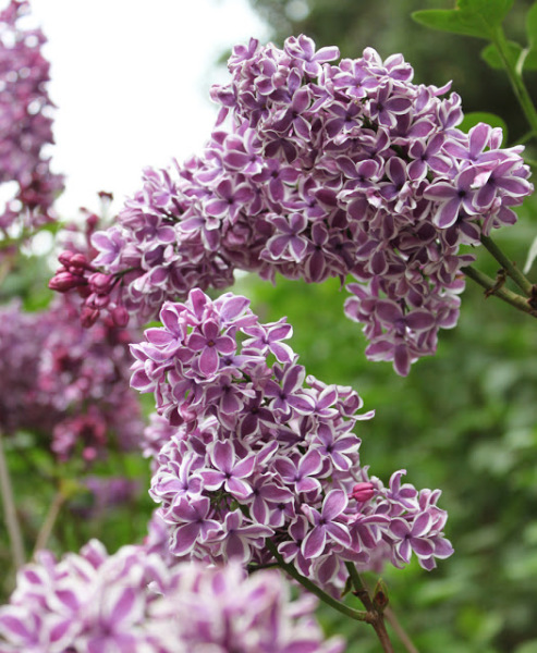 Pacific Groves Low-chill Descanso Lilacs