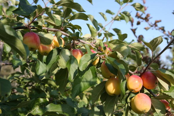 Pacific Groves Edible Crabapples