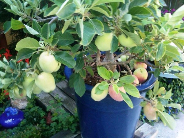 Pacific Groves Ultra Dwarf Patio Fruit Trees