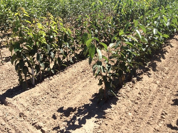 Pacific Groves Ultra Dwarf Cherry Trees Growing in the Field