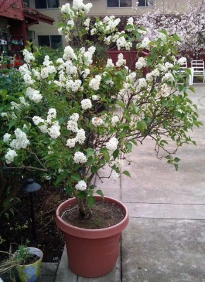 Pacific Groves Angel White Descanso Lilac Variety