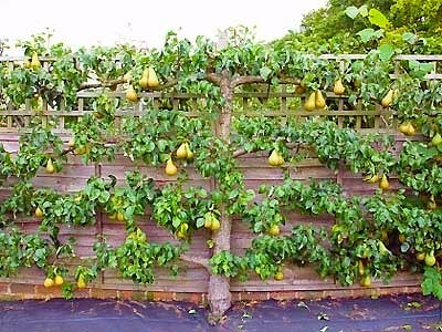 Espalier Pear Tree growing along Fence