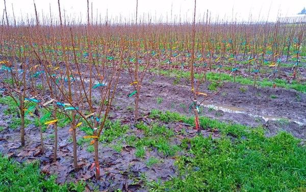 Pacific Groves Multi-Graft Fruit Trees Growing in the Field