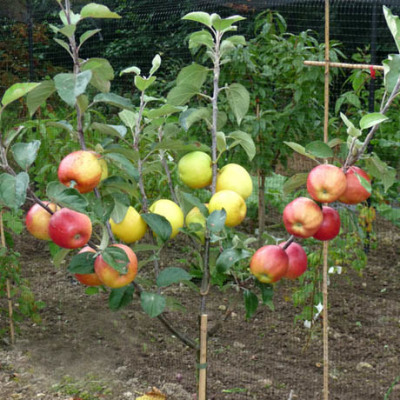 Multi-Grafted Apple Tree in the Ground