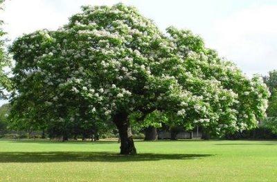 Pacific Groves Common Horsechesnut Tree