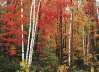 Pacific Groves Birch Trees