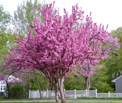 Pacific Groves Redbud Trees