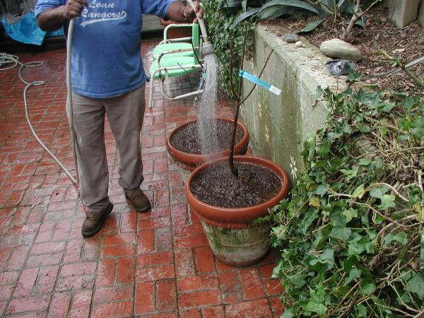How to Properly Water Bare Root Fruit Trees