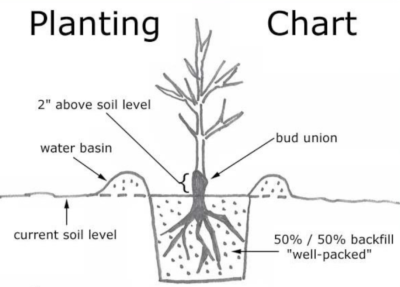 Bare Root Planting Guide