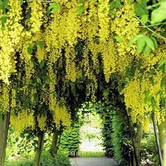Pacific Groves Laburnum Trees