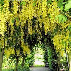 Pacific Groves Laburnum Trees