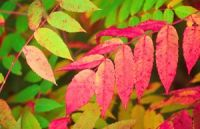 Pacific Groves Sumac Trees