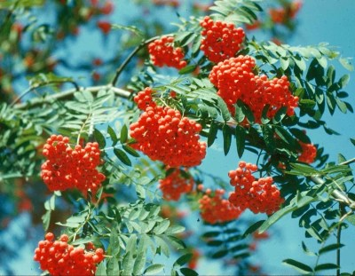 Pacific Groves Mountain Ash Trees