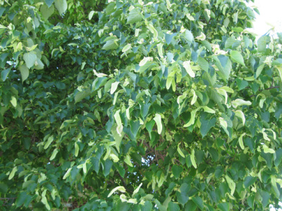 Pacific Groves Linden Trees