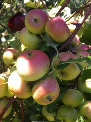 Whitney Crabapple with Fruit