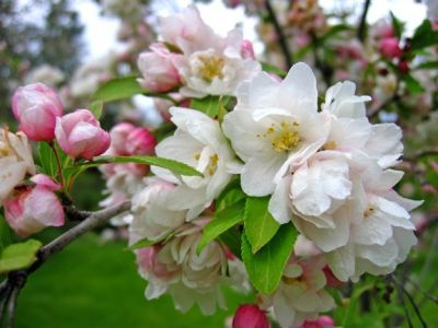 Whitney Crabapple with Blossoms