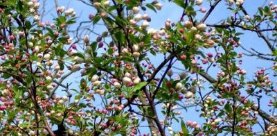 Transcendent Crabapple with Blossoms