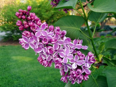 Pacific Groves Descanso Hybrid Lilacs