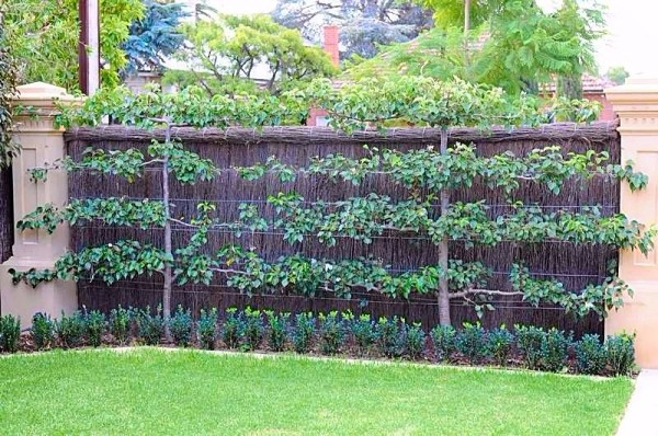 Pacific Groves Espalier Fruit Trees