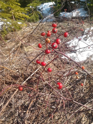 Rose Hips in very early spring