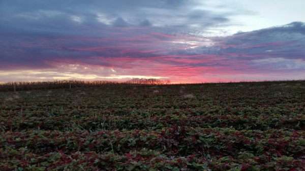 Fall Strawberry Field
