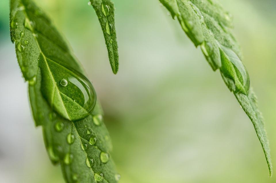 Medical Marijuana for Mesothelioma