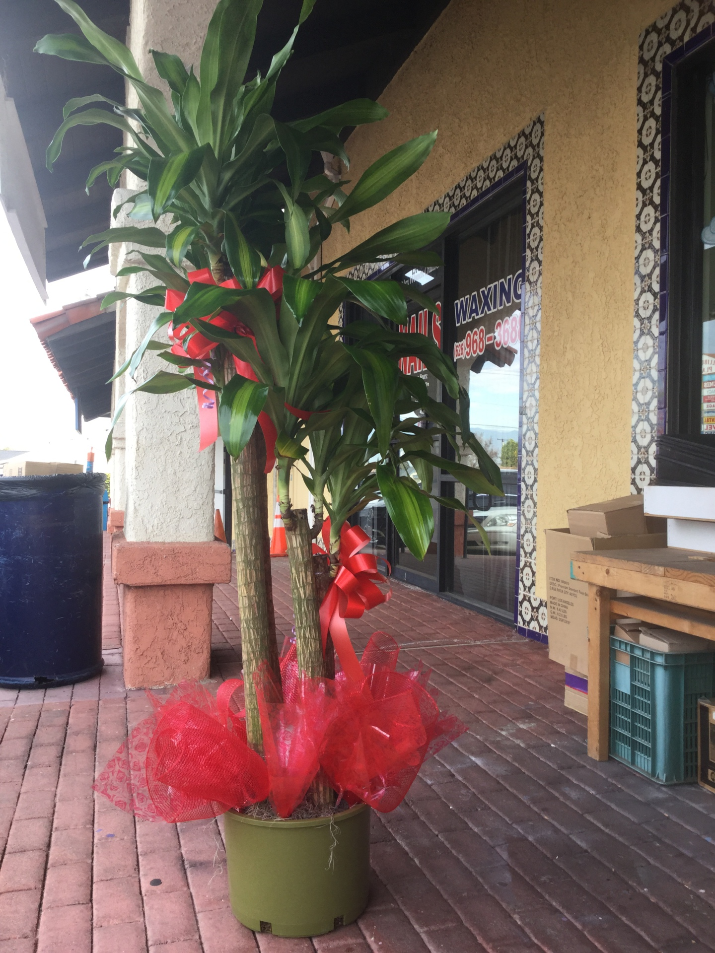 Cane Tree - Grand Opening