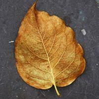 Golden Leaf texture