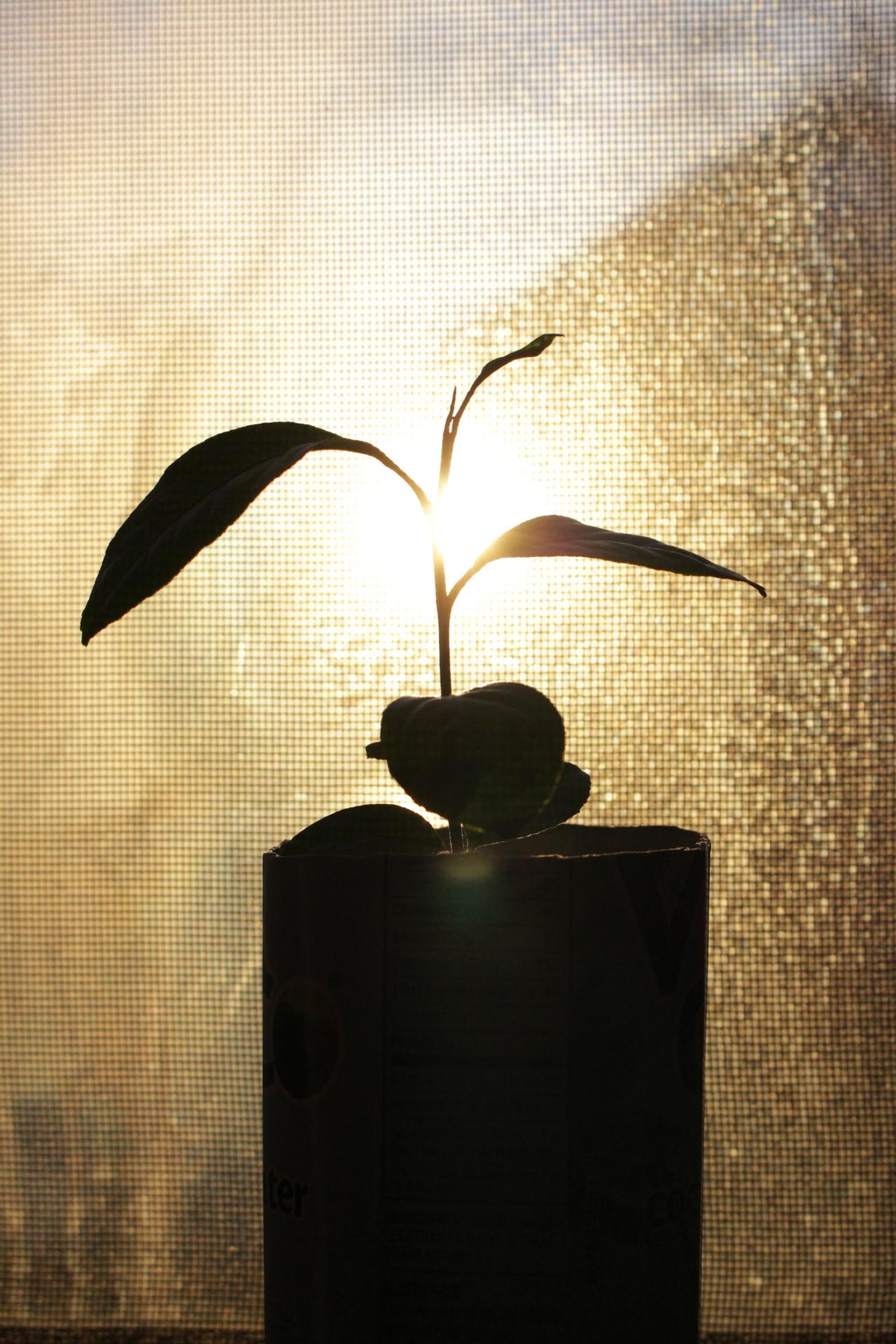 My Lemon plant