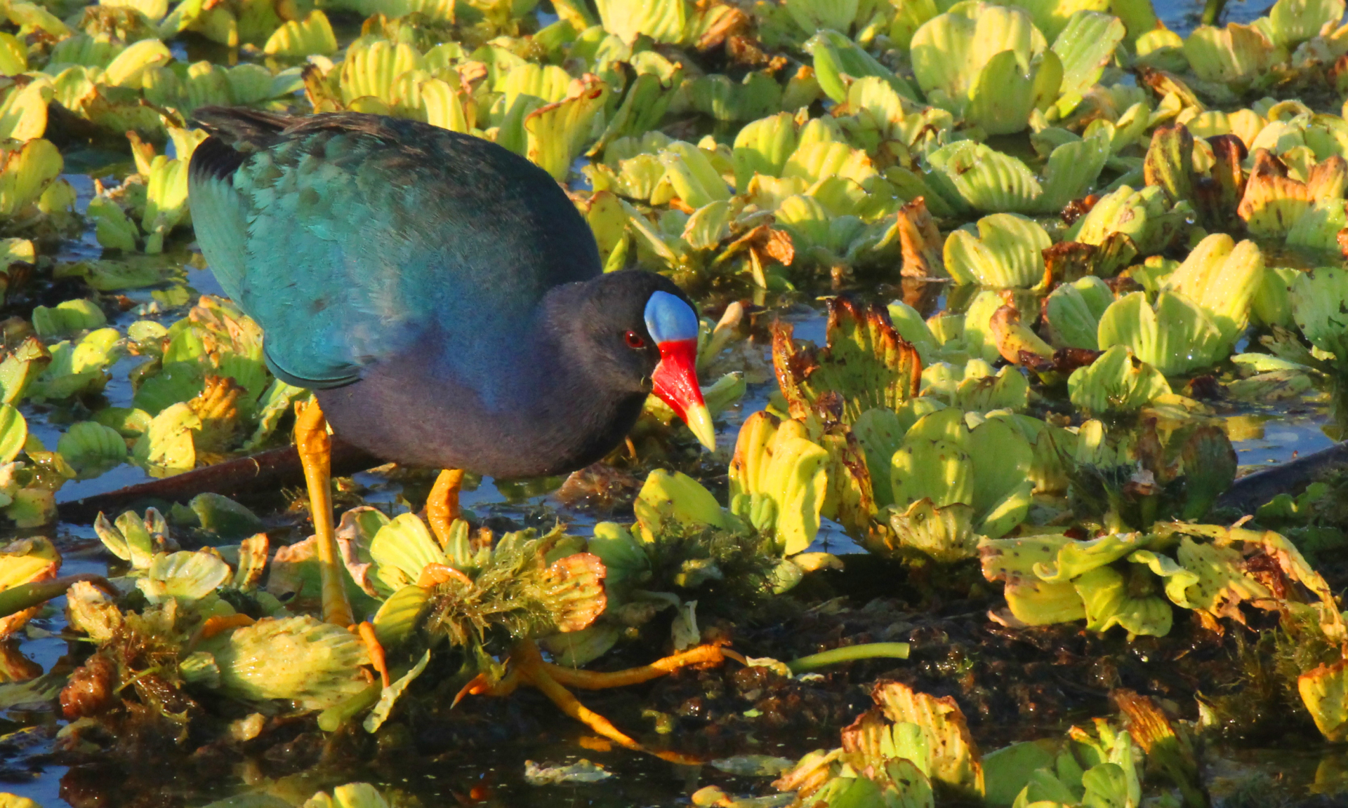 Purple Gallinule, Exciting find at the Orlando Wetlands