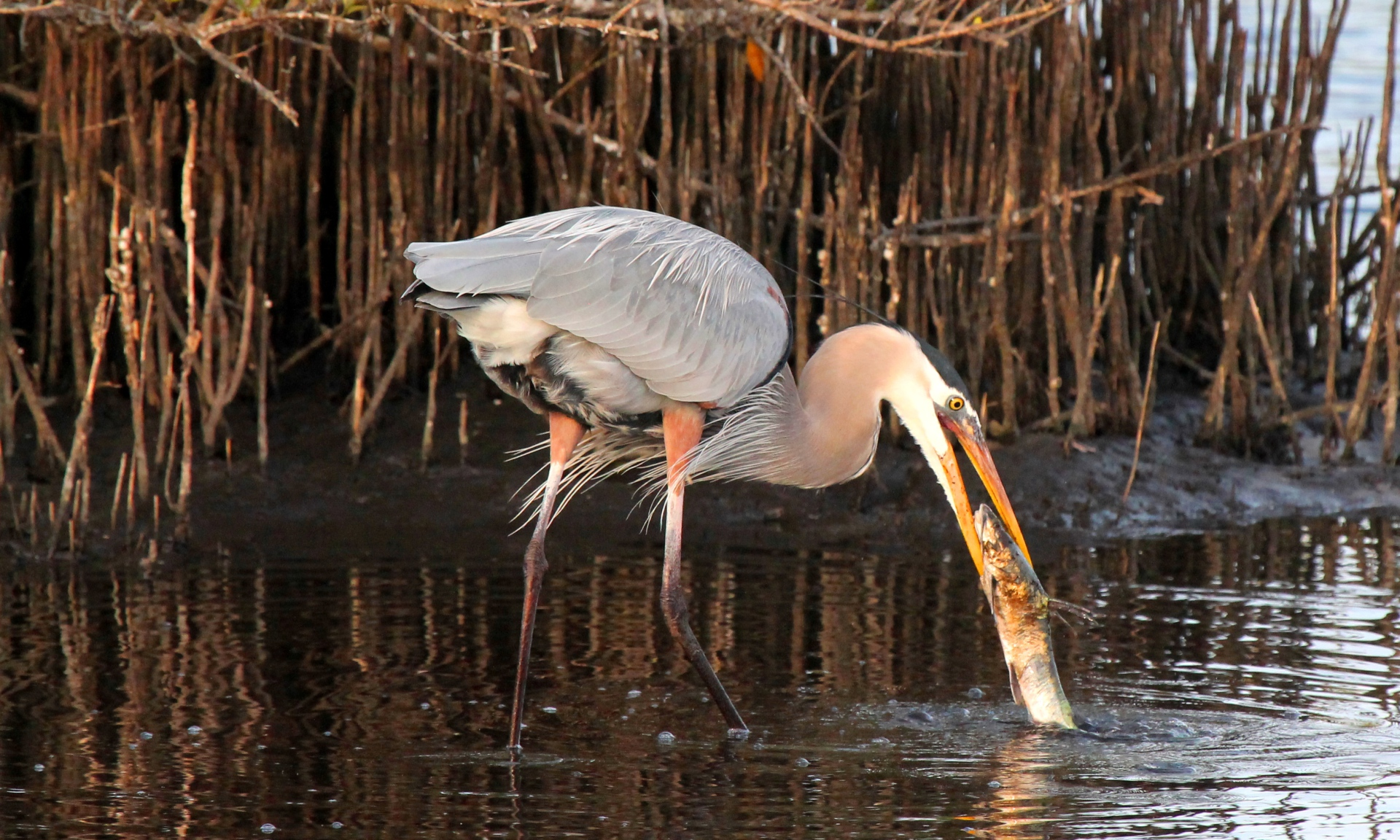 Great Blue Heron eating