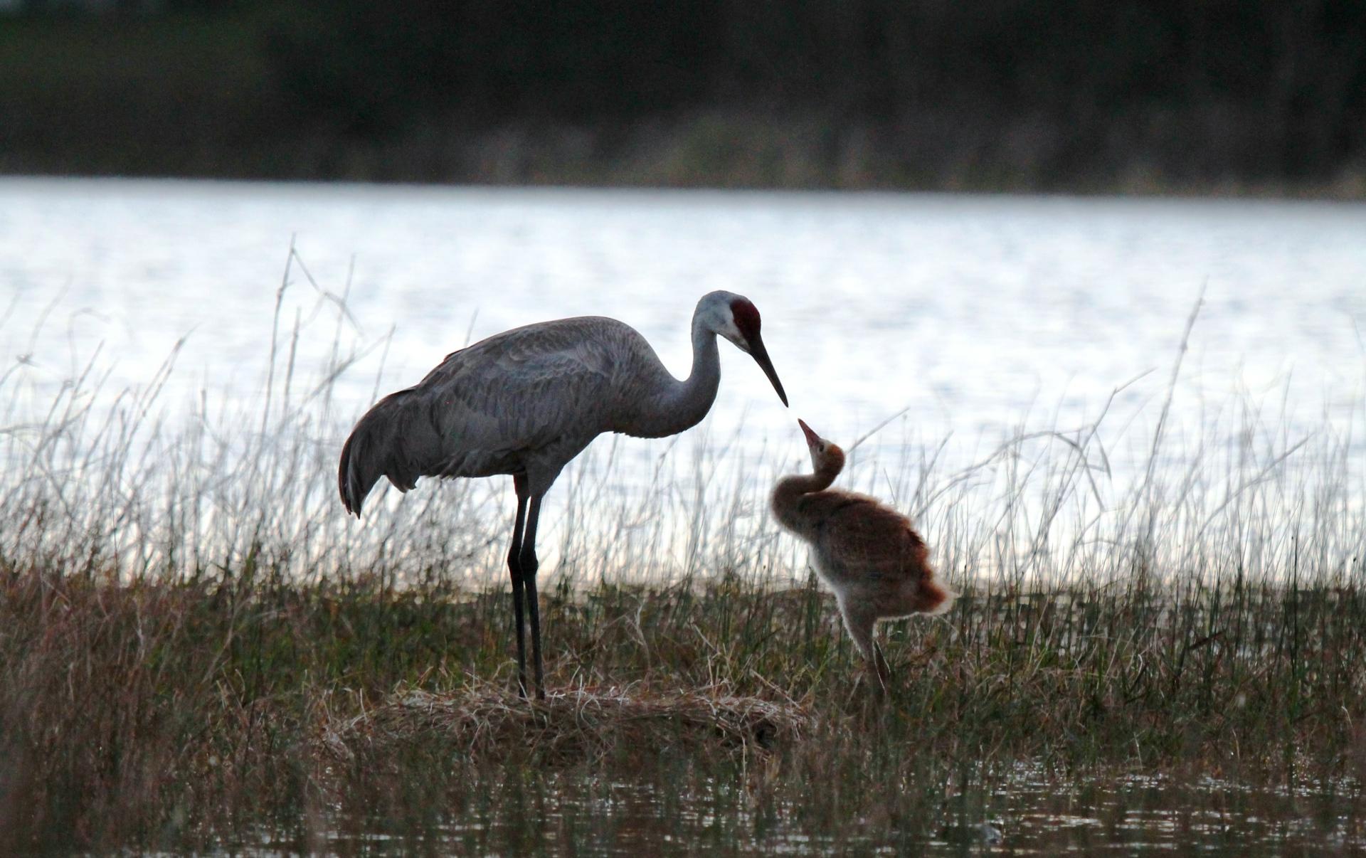 Sandhill Crane and baby