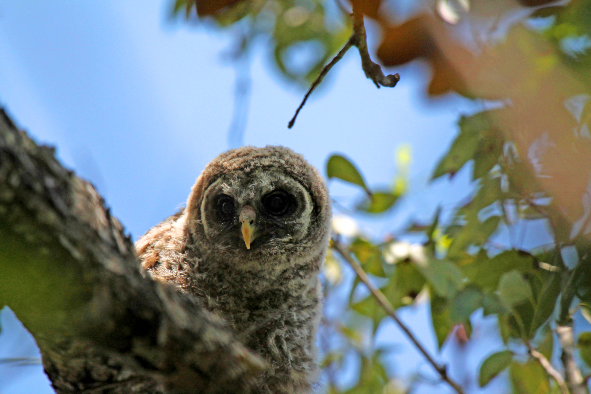 Baby Barred Owl is Adorable