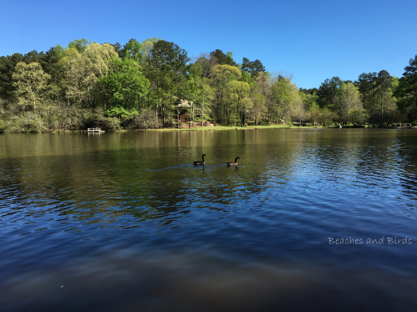Lake Coweta in Newnan is harbor for Canadian Geese