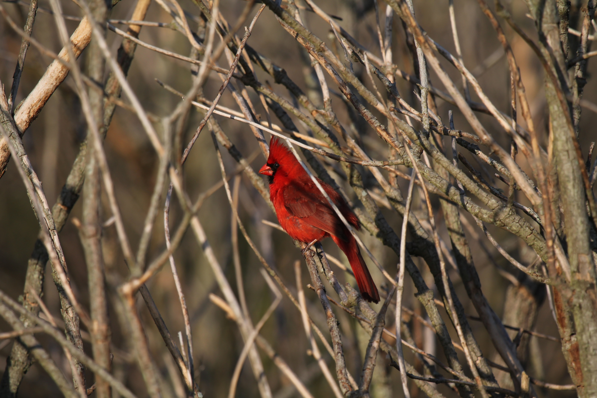 Northern Cardinals Color the Landscape