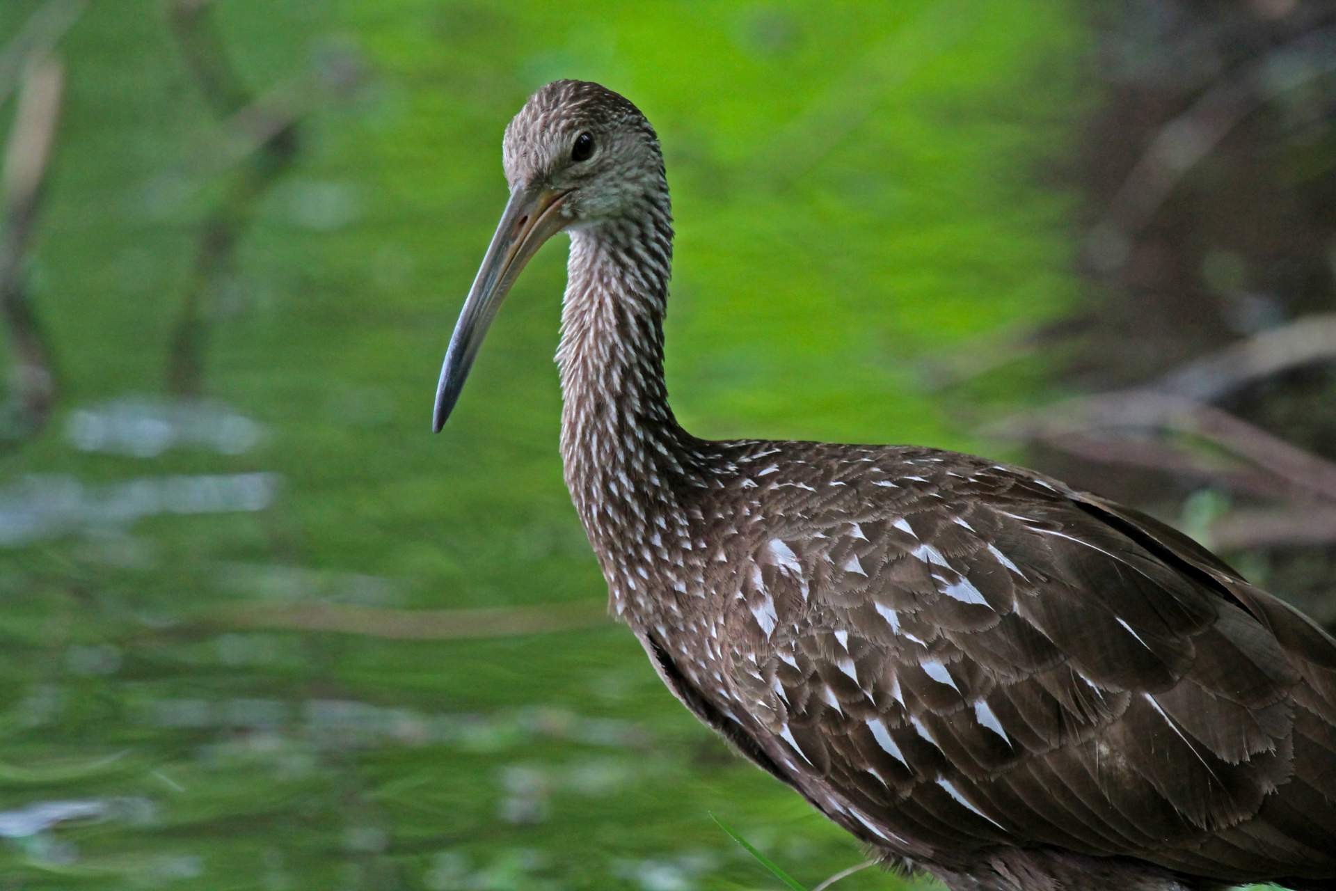 Limpkin close up