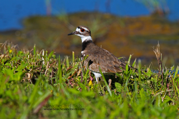 Killdeer not shy