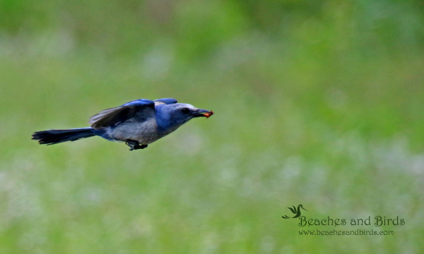 Florida Scrub Jay in Flight with Insect