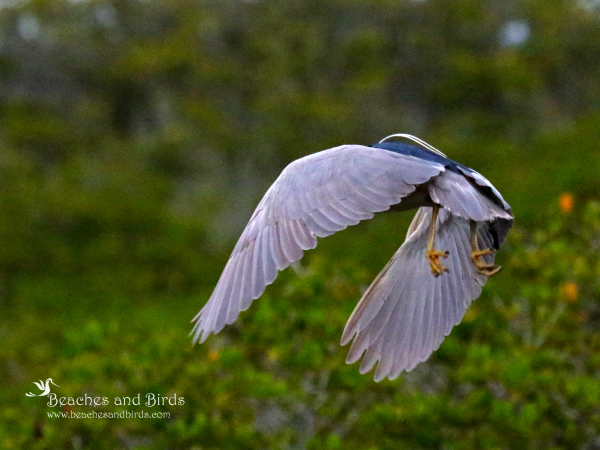 Black Crown Night Heron in Flight